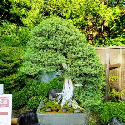 昭和記念公園 盆栽園 杜松