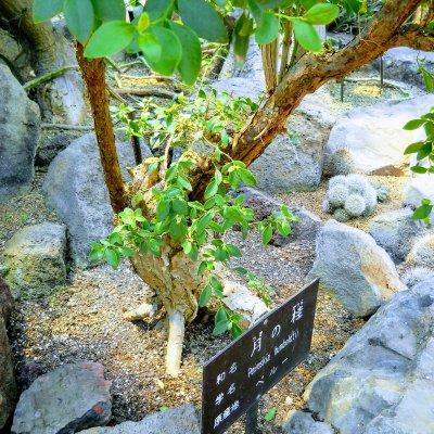 伊豆シャボテン公園 コノハサボテン 月の桂
