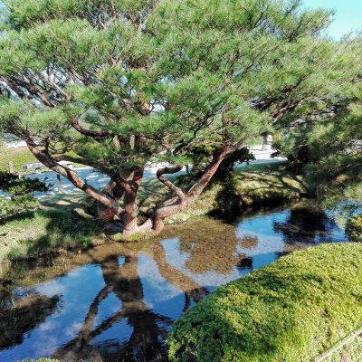 金沢 兼六園 赤松と水面