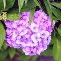 葛西臨海公園 紫陽花 桃紫色