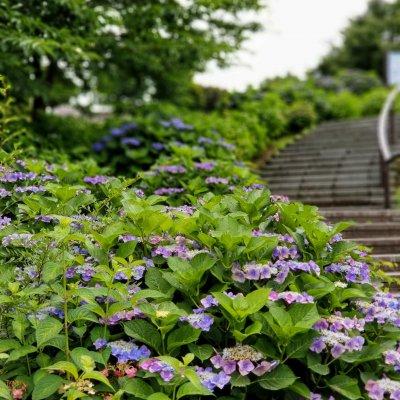 葛西臨海公園 紫陽花 中央園路横階段