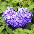 浜町公園 紫陽花