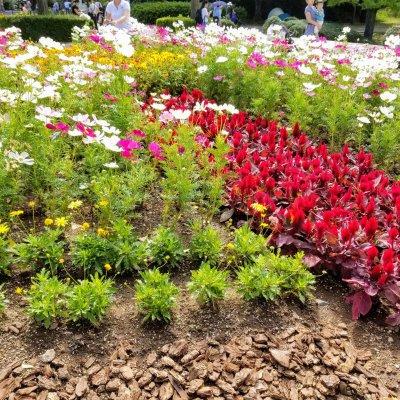 昭和記念公園 立川口ゲート 花壇 サルビア