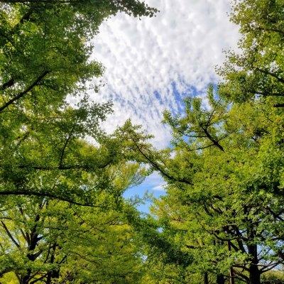 昭和記念公園 カナール周辺 銀杏と斑雲