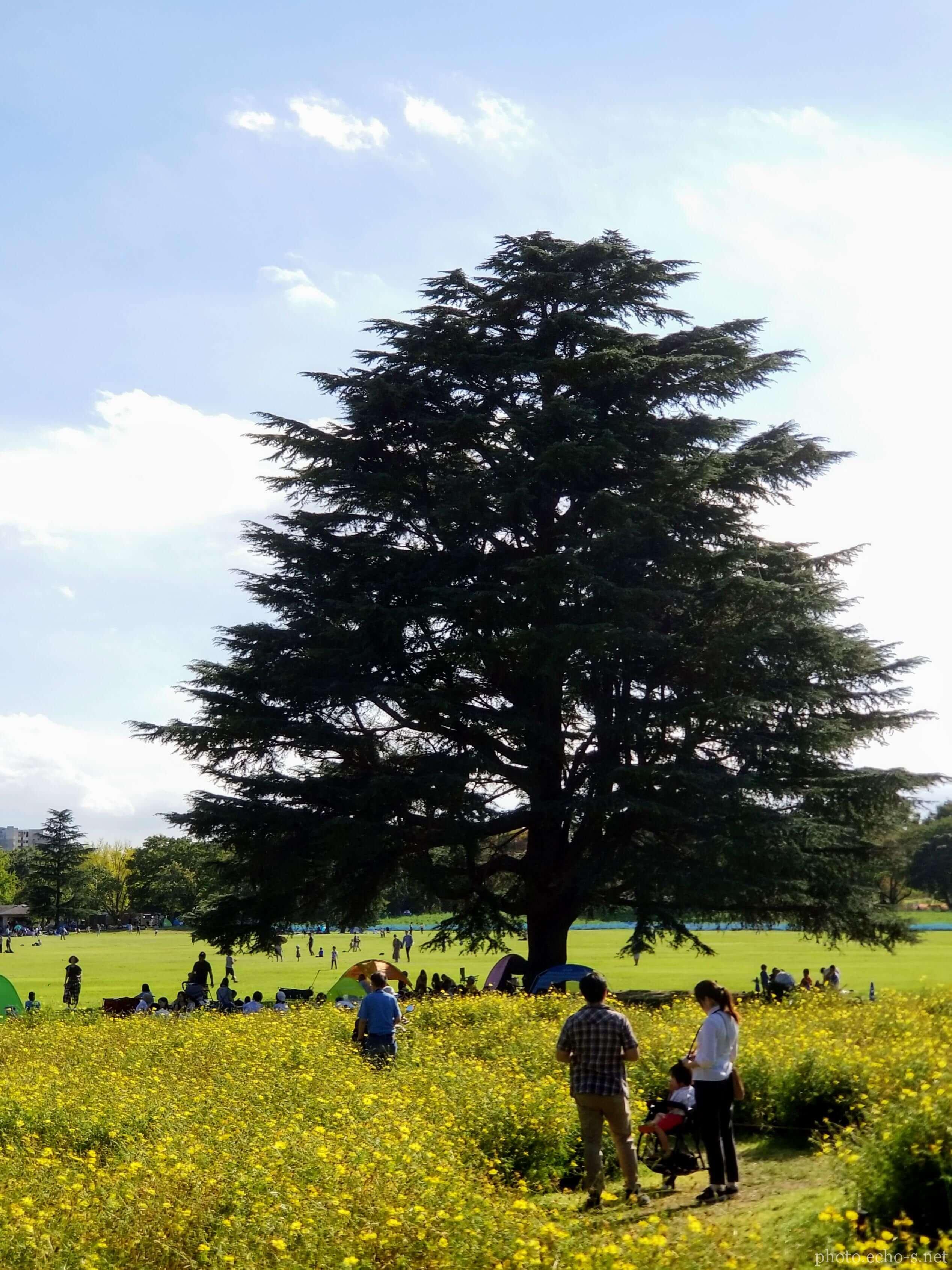 昭和記念公園 みんなの原っぱ コスモス