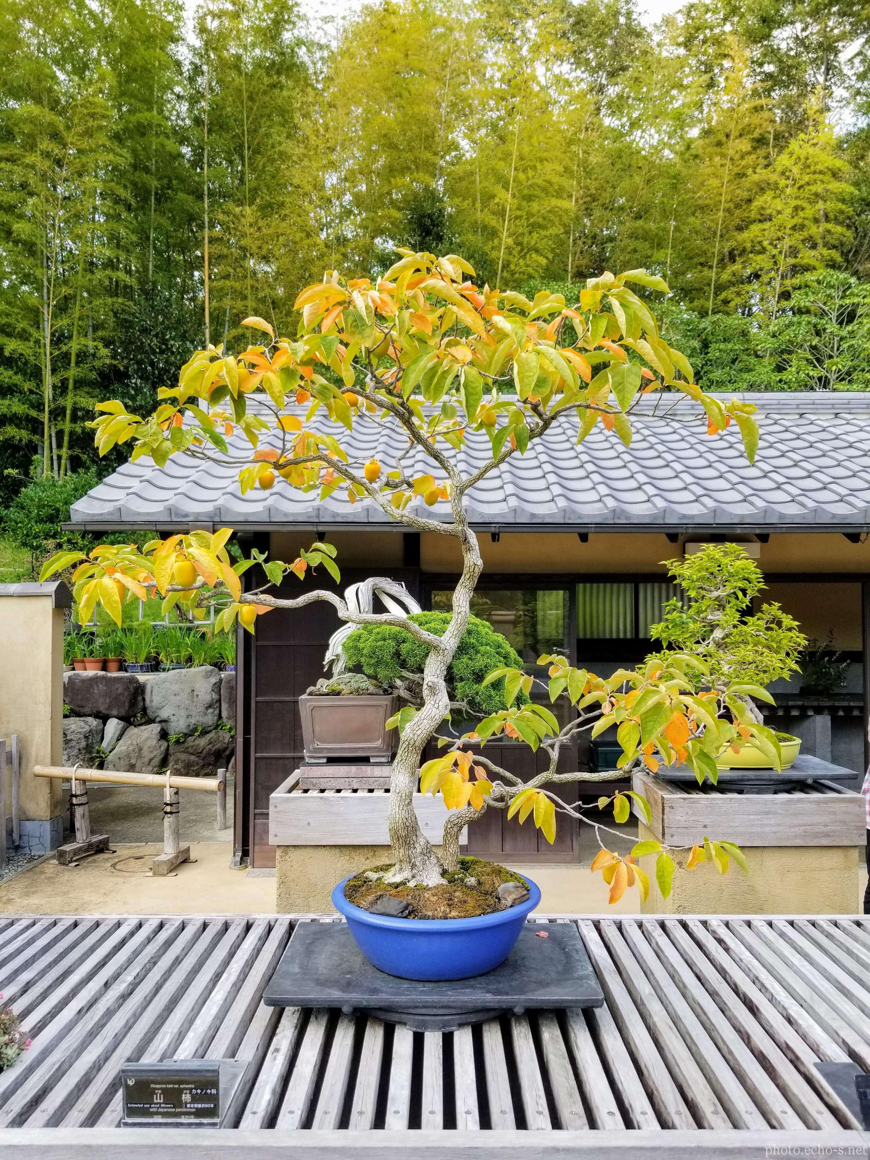 昭和記念公園 盆栽園 山柿