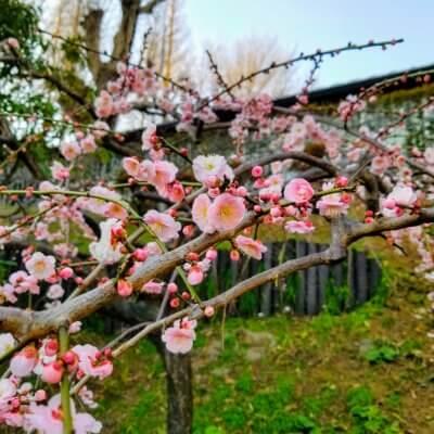 横浜 山手イタリア山庭園 ブラフ18番館 梅