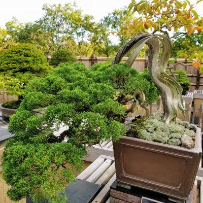 昭和記念公園 盆栽園 真柏