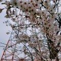 浦安 富士見 しおかぜ緑道 鉄塔 桜