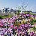 横浜 山下公園 広場 花壇 チューリップ