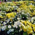 横浜 山下公園 広場 花壇 デイジー