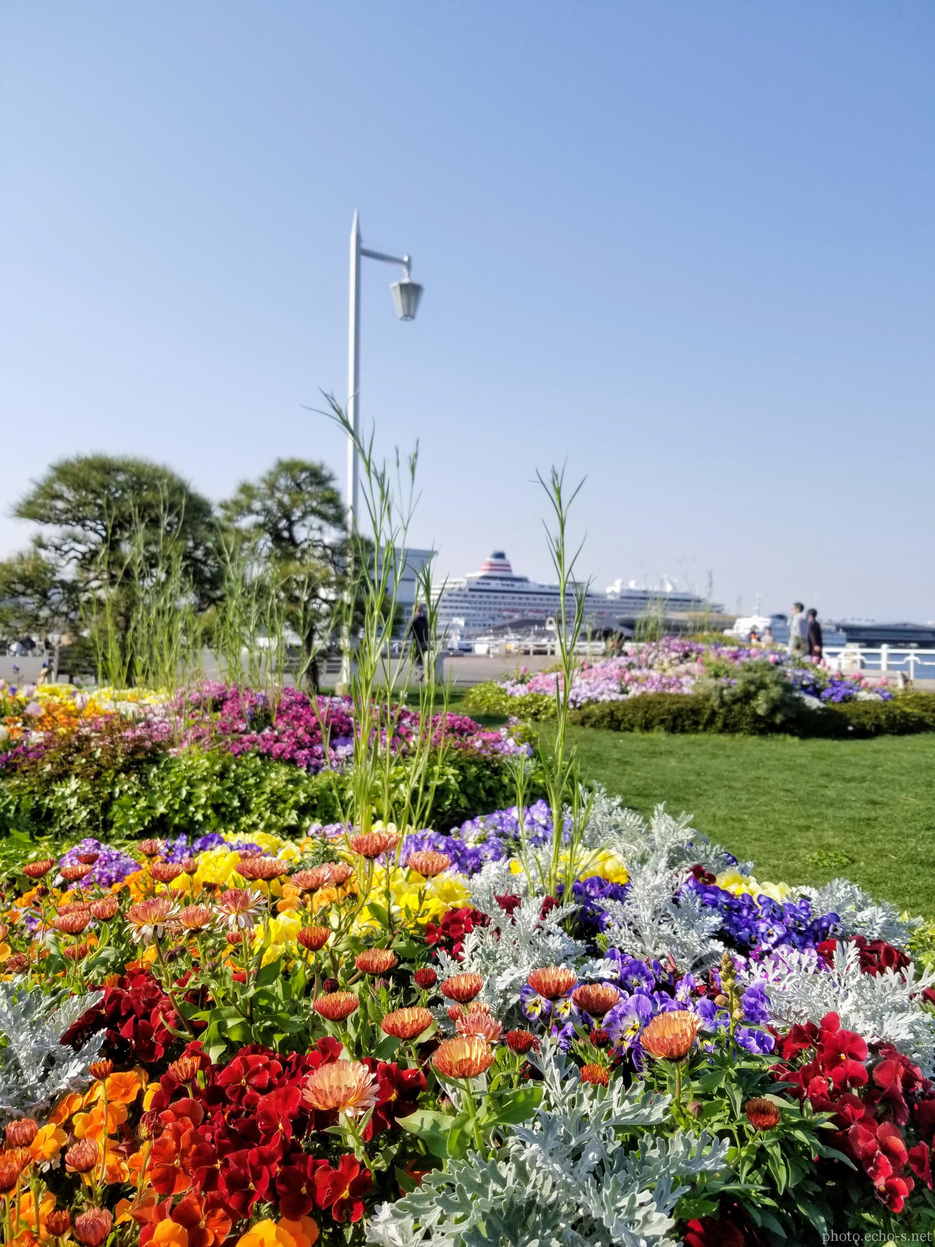 横浜 山下公園 広場 花壇 シロタエギク
