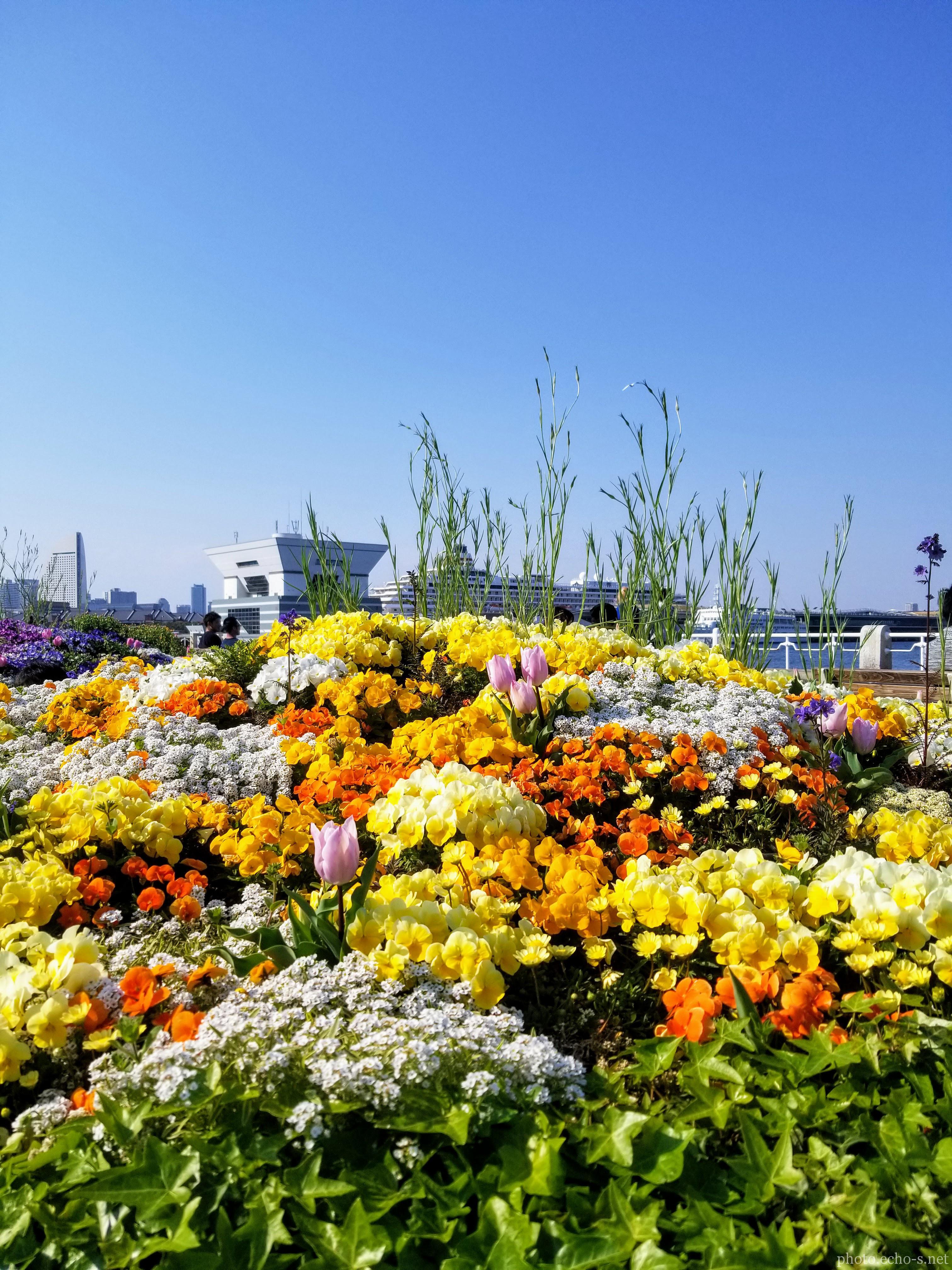 横浜 山下公園 広場 花壇 マリーゴールド