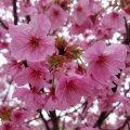 浦安 弁天 弁天ふれあいの森公園 陽光桜