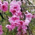 浦安 弁天 弁天ふれあいの森公園 源平枝垂れ桃 紅色