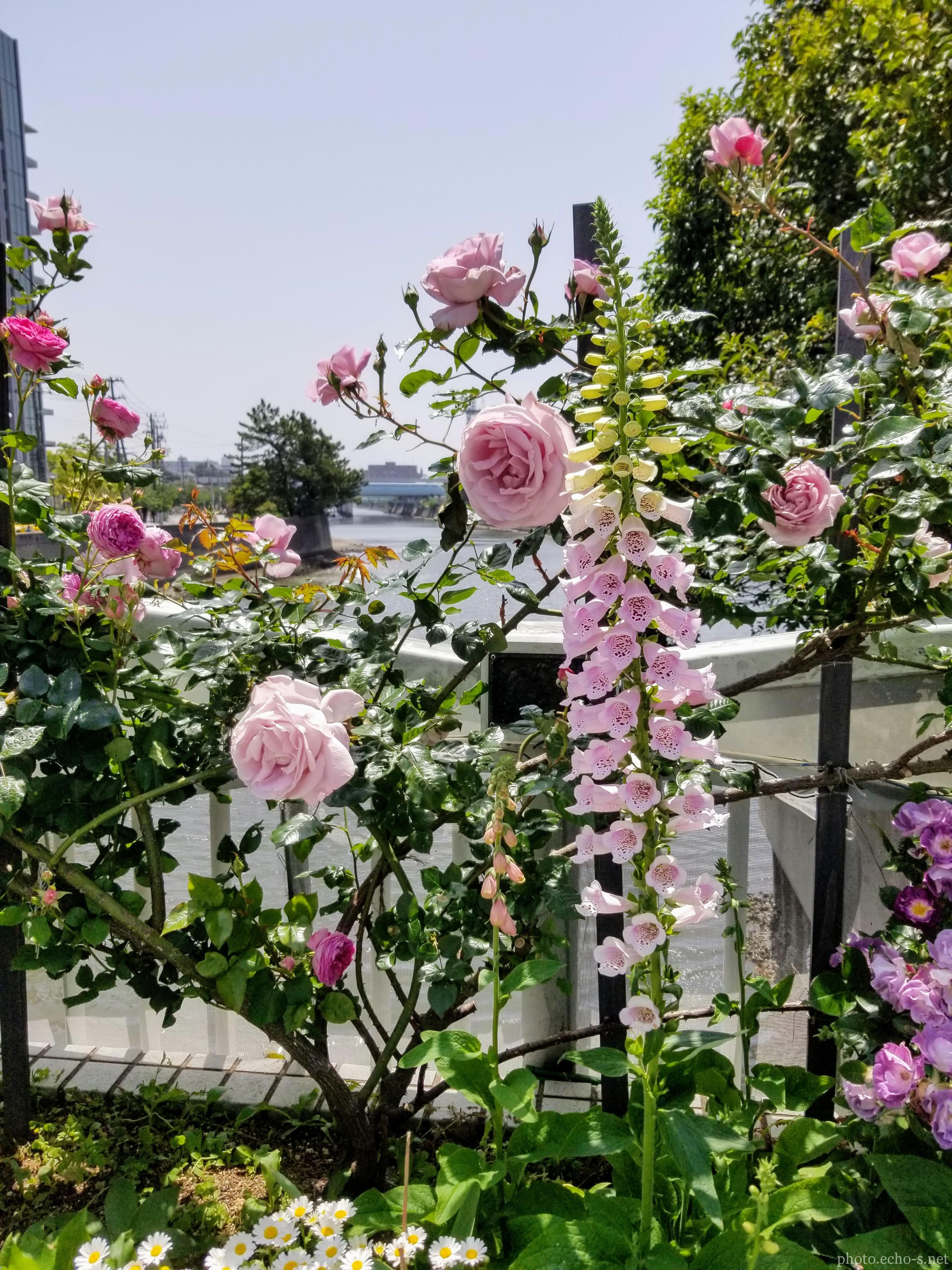 新浦安 東野 境川東水門 花壇 ジギダリス